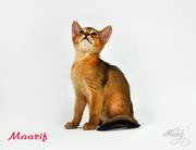 Абиссинские котята - солнечное счастье!!!