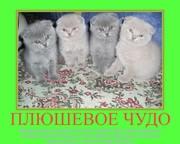 Шотландские плюшевые вислоухие котята.