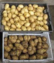 Картофель ранних сортов голландской селекции