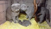 Шотландские котята(фолд и страйт).
