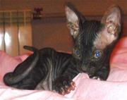котята сфинкса донского