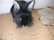 Продам декоративного кролика Позняки