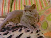 вязка  вислоухих кошек