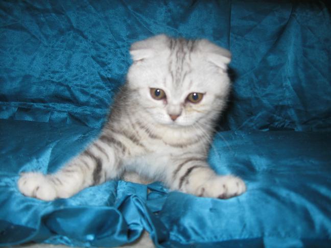 Фото вислоухих котят шотландцев разного окраса