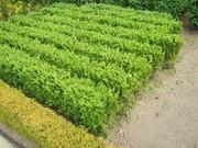 Продажа.   Блоки готовой  жывой  стриженной изгороди из самшита  от  4