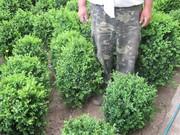 Самшыт вечнозеленый