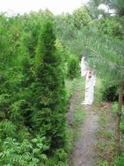 Садовые растения. Туя,  можжевельник - из питомника