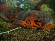Аквариумная рыбка Астронотус (ocellatus),  20 см,  280 грн. за 2 шт