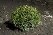 Самшит,  Киев купить, цена самшита в киеве, бордюрные растения,  лиственн