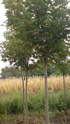 Куплю деревья крупномеры,  для ланшафтного дизайна