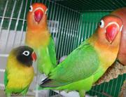 Неразлучники разных видов и другие мелкие породы попугаев