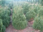 Хвойные декоративные деревя и кусты для  озеленения
