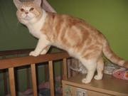 Шотландский прямоухий кот-грандинтерчемпион