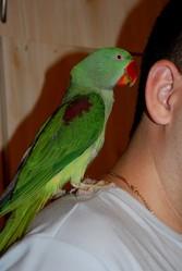 Большой кольчатый попугай,  или александрийский попугай