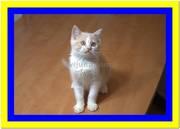 Кремовые британские котята биколор