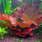 Продам аквариумные растения рыбки,  сомики,  креветки