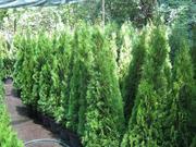 Туя киев купить,  туя смарагд 140-160 см,  хвойные растения