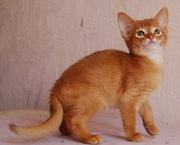 абиссинский котик из питомника