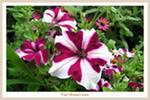 Продам цветы: петуния,  сальвия