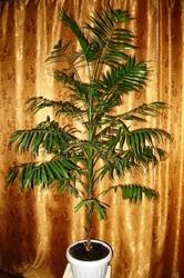 Продам пальму Хамедорея 170см,  Киев,  Лукьяновка