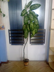 Продам растение Диффенбахия,  Киев