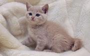 Кремовый британский котенок,  купить британского котенка киев