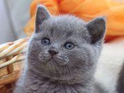 Голубые британские котята,  купить британца котенка