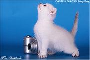 Эксклюзивные котята британской шиншиллы ns1133  с синими глазами.
