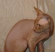 Канадский сфинкс, кот для вязок
