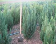 Вічно зелені декоративні рослини ,  туї,  самшит,  можевельник,  кипарисов