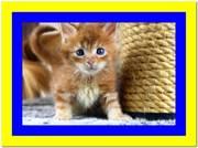 Продам котенка мейн кун рыжего окраса,  доставка из Киева