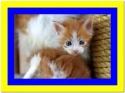 Ласковый и игривый котенок мейн кун красный биколор