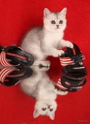 британские котята - широкий выбор приемлемые цены