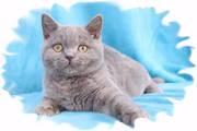 Лиловый британский котенок,  купить лилового котенка британца