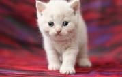 Британский клубный кремовый котенок от интерчемпионов