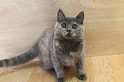 Ласковая и игривая британская девочка,  продажа британских котят