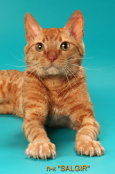Кудрявый рыжий кот