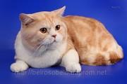 Шотландский кот. для вязок