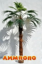 Пальма веерная.