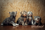 Очаровательные плюшевые малыши - шотландские клубные котята