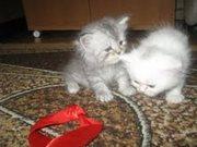 Продаются очень красивые персидскии котята 4мальчика и 2девочки