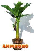 Life tree (Польша) Пальма банановая с плодами