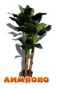 Life tree (Польша) Пальма банановая 3-и ствола