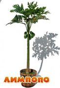 Life tree (Польша) Кокосовая пальма