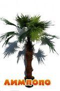 Life tree (Польша) 16 листовая веерная пальма