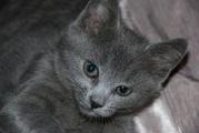Котенок Русской голубой 2, 5 мес