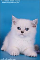 Британская кошечка с синими глазами