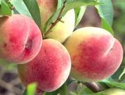 Саджанці плодово ягідних кувльтур
