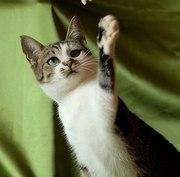 Сольвейг,  миниатюрная кошечка-эльф,  ищет дом