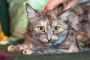 Котенок Таша,  неповторимый окрас,  плюшевая шубка,  10 мес.,  ищет дом
